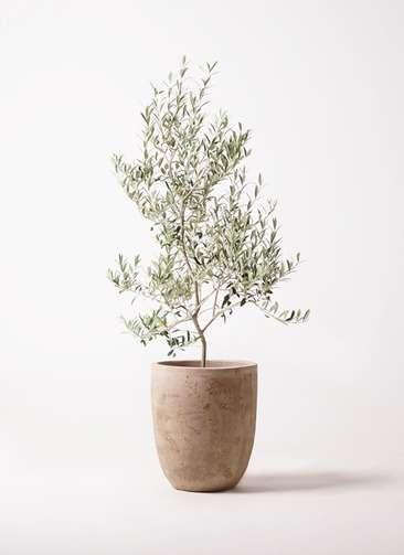 観葉植物 オリーブの木 8号 アルベキーナ ルーガ アンティコ アルトエッグ 付き
