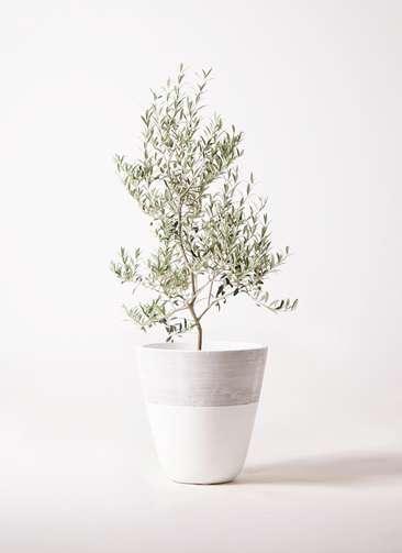 観葉植物 オリーブの木 8号 アルベキーナ ジュピター 白 付き