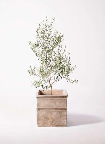 観葉植物 オリーブの木 8号 アルベキーナ テラアストラ カペラキュビ 赤茶色 付き