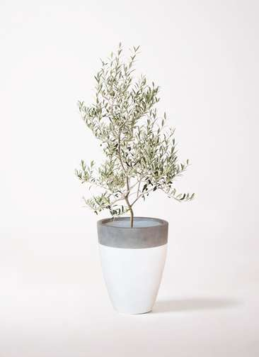 観葉植物 オリーブの木 8号 アルベキーナ ファイバーストーンカプリ 白 付き