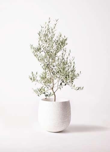 観葉植物 オリーブの木 8号 アルベキーナ エコストーンwhite 付き