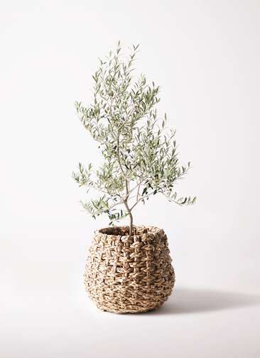 観葉植物 オリーブの木 8号 アルベキーナ ラッシュバスケット Natural 付き