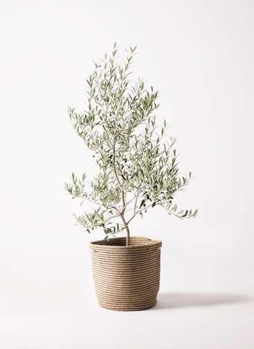 観葉植物 オリーブの木 8号 アルベキーナ リブバスケットNatural 付き