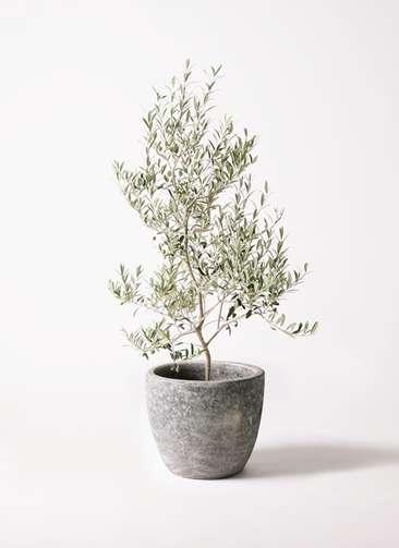 観葉植物 オリーブの木 8号 アルベキーナ アビスソニアミドル 灰 付き