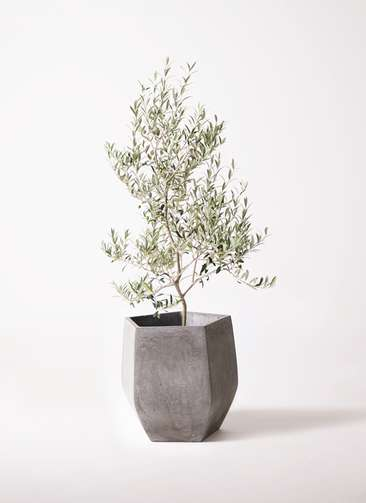 観葉植物 オリーブの木 8号 アルベキーナ ファイバークレイ Gray 付き