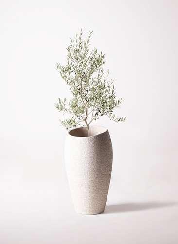 観葉植物 オリーブの木 8号 アルベキーナ エコストーントールタイプ Light Gray 付き