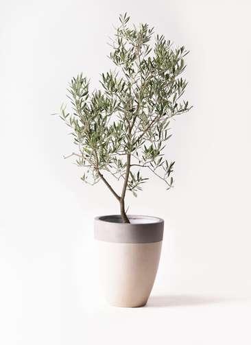 観葉植物 オリーブの木 8号 デルモロッコ ファイバーストーンカプリ サンディホワイト 付き