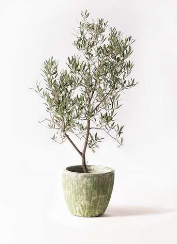 観葉植物 オリーブの木 8号 デルモロッコ アビスソニアミドル 緑 付き