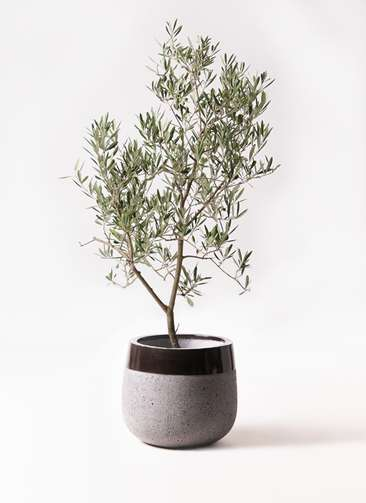 観葉植物 オリーブの木 8号 デルモロッコ ファイバーストーンタウルス 黒 付き