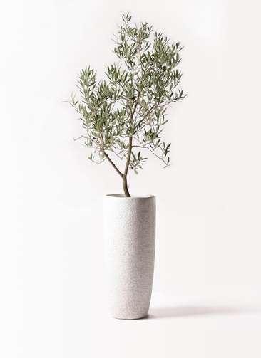 観葉植物 オリーブの木 8号 デルモロッコ エコストーントールタイプ white 付き
