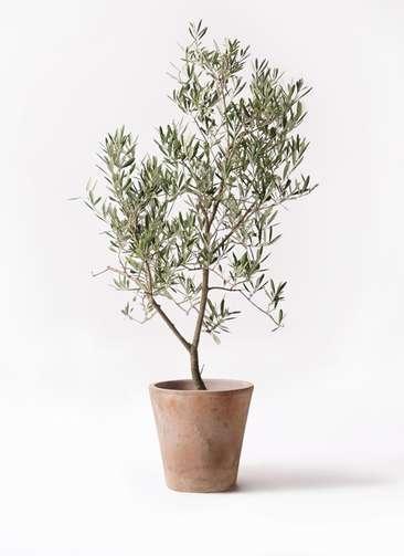 観葉植物 オリーブの木 8号 デルモロッコ ルーガ アンティコ ソリッド 付き