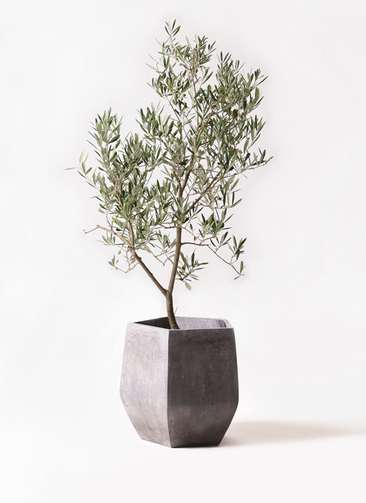 観葉植物 オリーブの木 8号 デルモロッコ ファイバークレイ Gray 付き