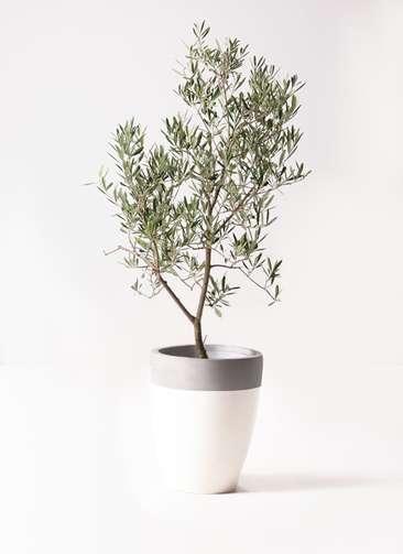 観葉植物 オリーブの木 8号 デルモロッコ ファイバーストーンカプリ 白 付き