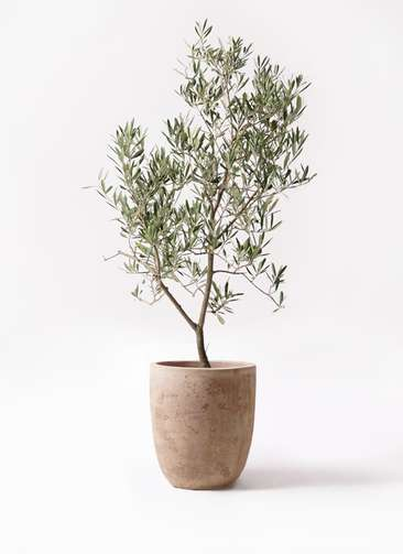 観葉植物 オリーブの木 8号 デルモロッコ ルーガ アンティコ アルトエッグ 付き
