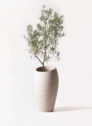観葉植物 オリーブの木 8号 デルモロッコ エコストーントールタイプ Light Gray 付き