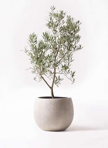 観葉植物 オリーブの木 8号 デルモロッコ テラニアス ローバルーン アンティークホワイト 付き