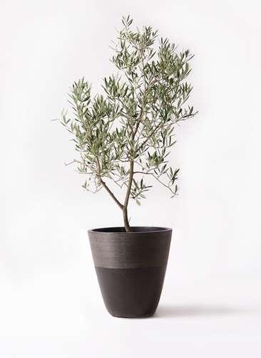 観葉植物 オリーブの木 8号 デルモロッコ ジュピター 黒 付き