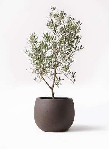 観葉植物 オリーブの木 8号 デルモロッコ テラニアス ローバルーン アンティークブラウン 付き