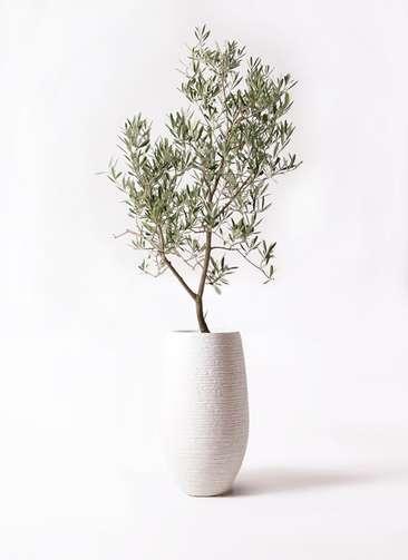 観葉植物 オリーブの木 8号 デルモロッコ フォンティーヌトール 白 付き