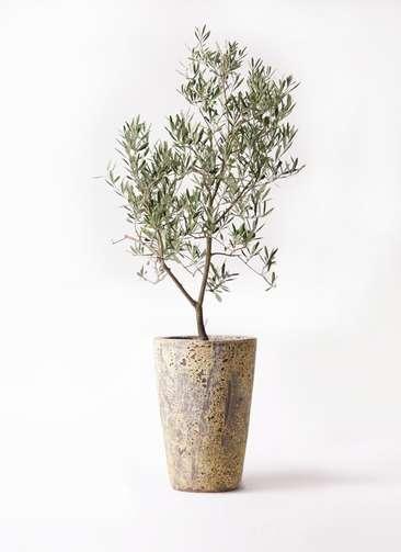 観葉植物 オリーブの木 8号 デルモロッコ アトランティス クルーシブル 付き