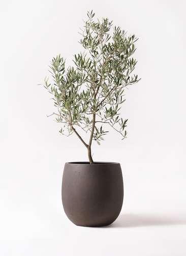 観葉植物 オリーブの木 8号 デルモロッコ テラニアス バルーン アンティークブラウン 付き