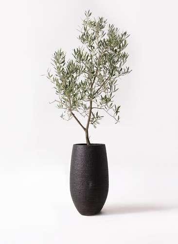 観葉植物 オリーブの木 8号 デルモロッコ フォンティーヌトール 黒 付き