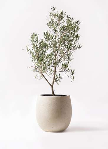 観葉植物 オリーブの木 8号 デルモロッコ テラニアス バルーン アンティークホワイト 付き
