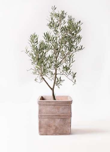 観葉植物 オリーブの木 8号 デルモロッコ テラアストラ カペラキュビ 赤茶色 付き