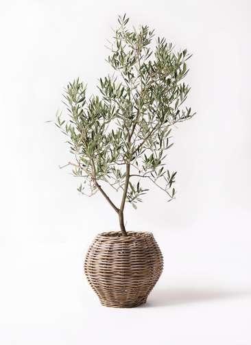 観葉植物 オリーブの木 8号 デルモロッコ グレイラタン 付き