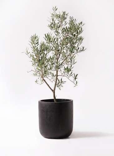 観葉植物 オリーブの木 8号 デルモロッコ エルバ 黒 付き