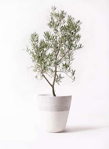 観葉植物 オリーブの木 8号 デルモロッコ ジュピター 白 付き
