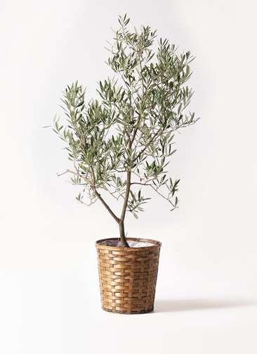観葉植物 オリーブの木 8号 デルモロッコ 竹バスケット 付き