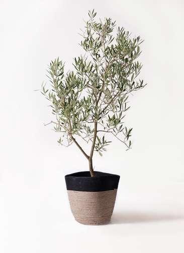 観葉植物 オリーブの木 8号 デルモロッコ リブバスケットNatural and Black 付き