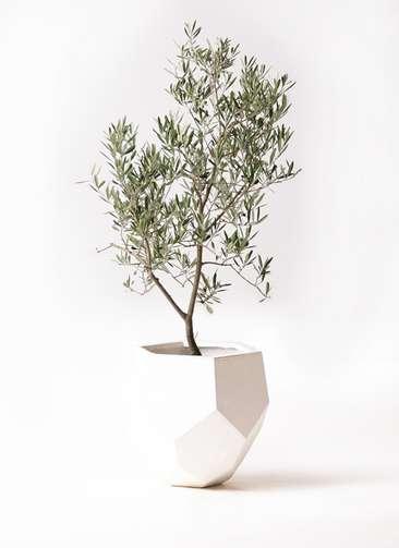観葉植物 オリーブの木 8号 デルモロッコ ポリゴヘクサ 白 付き