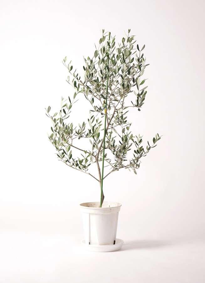 観葉植物 オリーブの木 8号 ルッカ プラスチック鉢