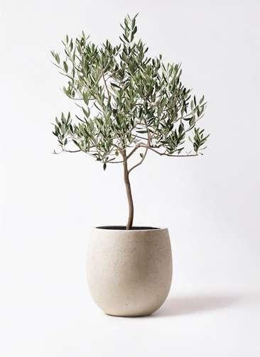 観葉植物 オリーブの木 8号 ハーディーズマンモス テラニアス バルーン アンティークホワイト 付き