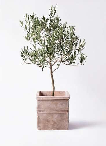 観葉植物 オリーブの木 8号 ハーディーズマンモス テラアストラ カペラキュビ 赤茶色 付き
