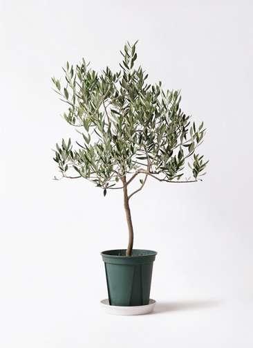 観葉植物 オリーブの木 8号 ハーディーズマンモス プラスチック鉢