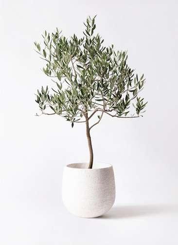 観葉植物 オリーブの木 8号 ハーディーズマンモス エコストーンwhite 付き