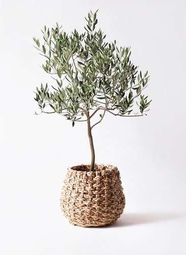 観葉植物 オリーブの木 8号 ハーディーズマンモス ラッシュバスケット Natural 付き