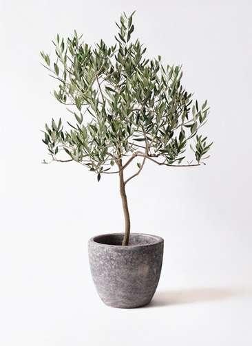 観葉植物 オリーブの木 8号 ハーディーズマンモス アビスソニアミドル 灰 付き