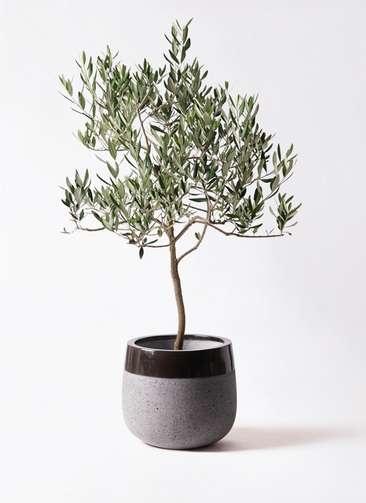 観葉植物 オリーブの木 8号 ハーディーズマンモス ファイバーストーンタウルス 黒 付き