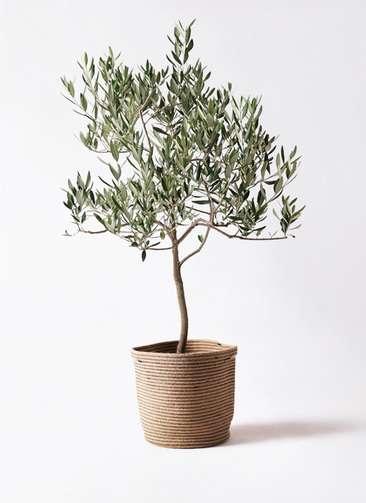 観葉植物 オリーブの木 8号 ハーディーズマンモス リブバスケットNatural 付き