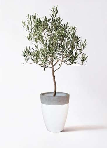 観葉植物 オリーブの木 8号 ハーディーズマンモス ファイバーストーンカプリ 白 付き