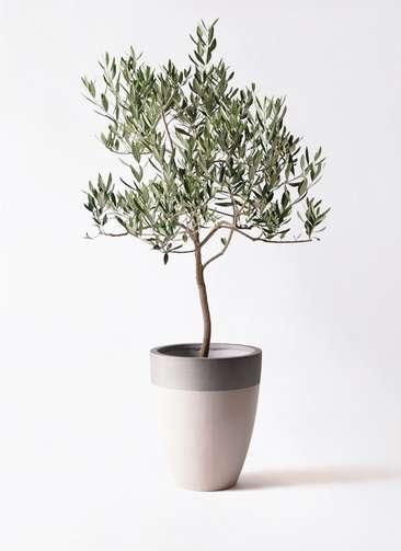観葉植物 オリーブの木 8号 ハーディーズマンモス ファイバーストーンカプリ サンディホワイト 付き