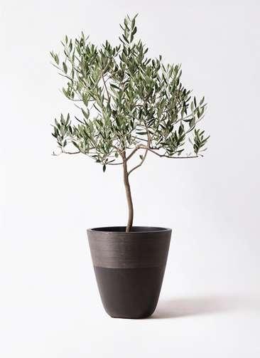 観葉植物 オリーブの木 8号 ハーディーズマンモス ジュピター 黒 付き