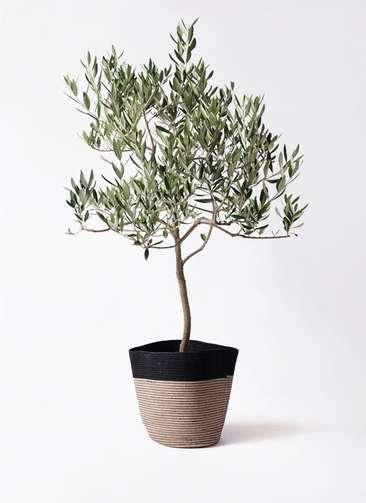 観葉植物 オリーブの木 8号 ハーディーズマンモス リブバスケットNatural and Black 付き