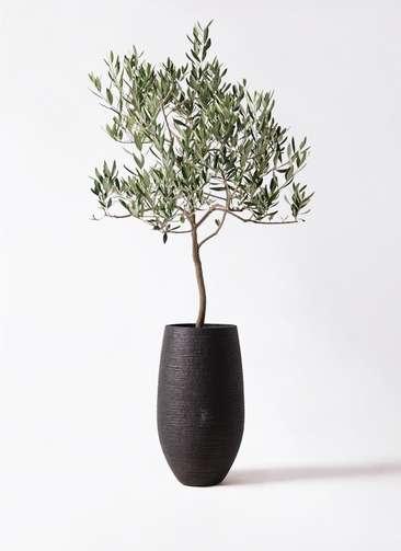 観葉植物 オリーブの木 8号 ハーディーズマンモス フォンティーヌトール 黒 付き