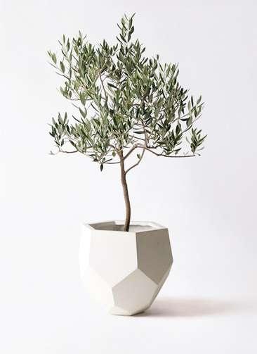 観葉植物 オリーブの木 8号 ハーディーズマンモス ポリゴヘクサ 白 付き