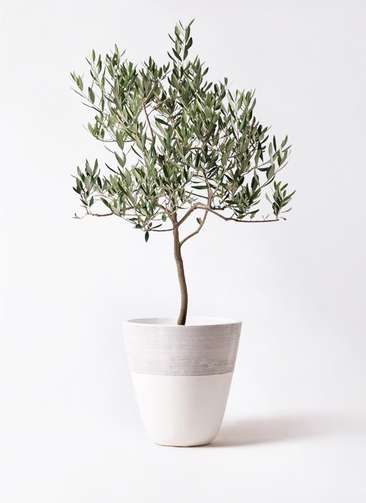 観葉植物 オリーブの木 8号 ハーディーズマンモス ジュピター 白 付き